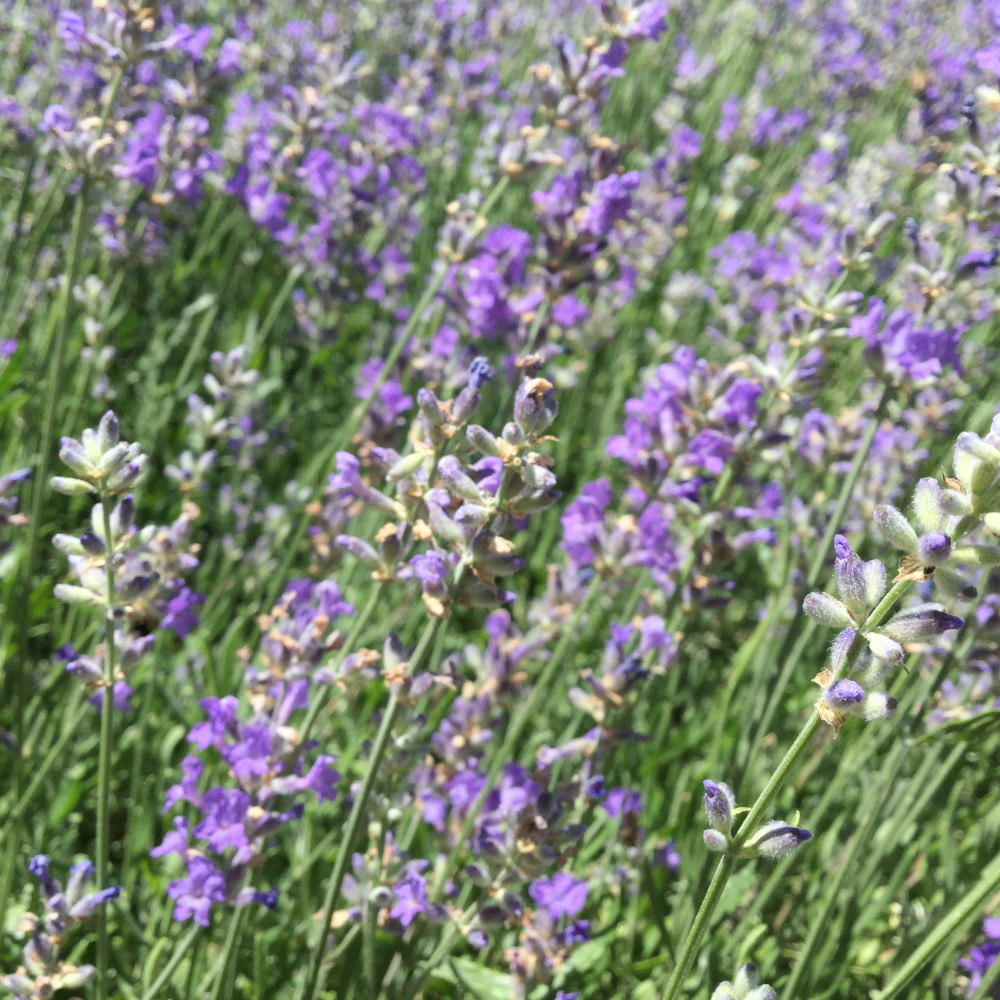 blooming lavender bushes in a garden