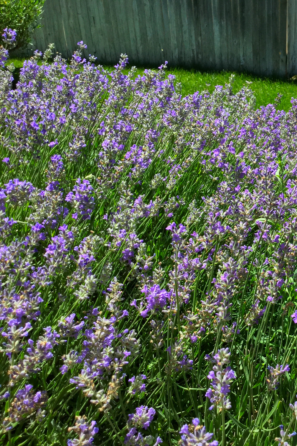 large lavender bush growing and blooming