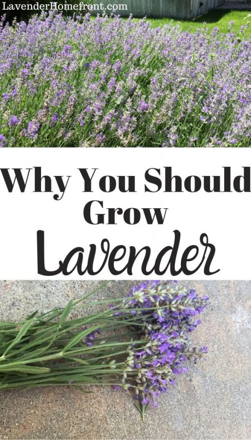 Why you should grow lavender pinnable image