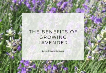 the benefits of growing lavender main image