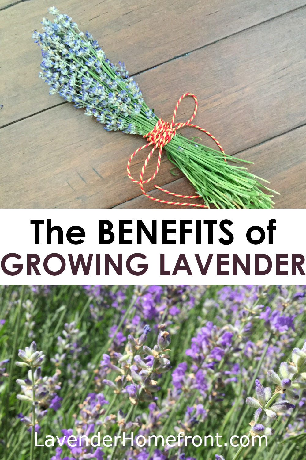 growing lavender pinnable image with text overlay