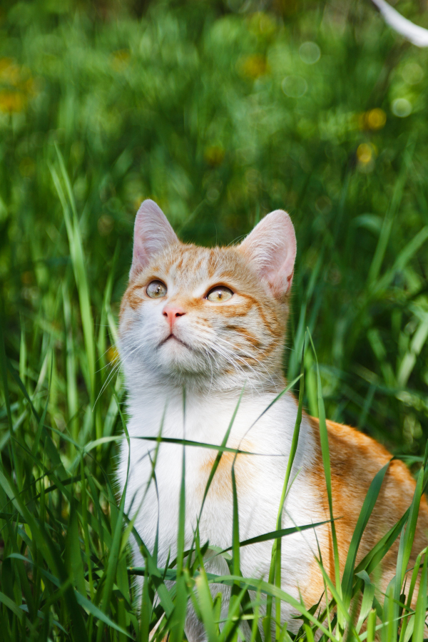 orange cat sitting in the grass