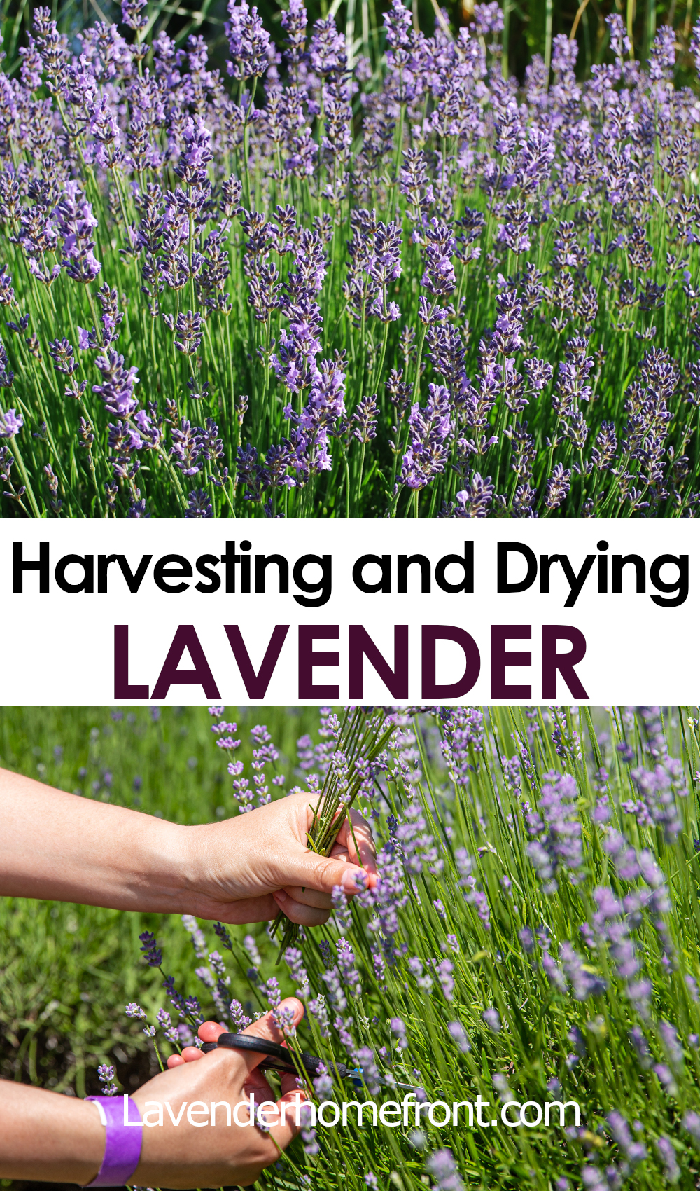 harvesting and drying lavender pinnable image with text overlay