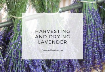 harvesting and drying lavender main image with text overlay