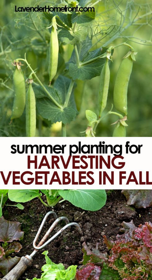 summer planting fall harvests pinnable image