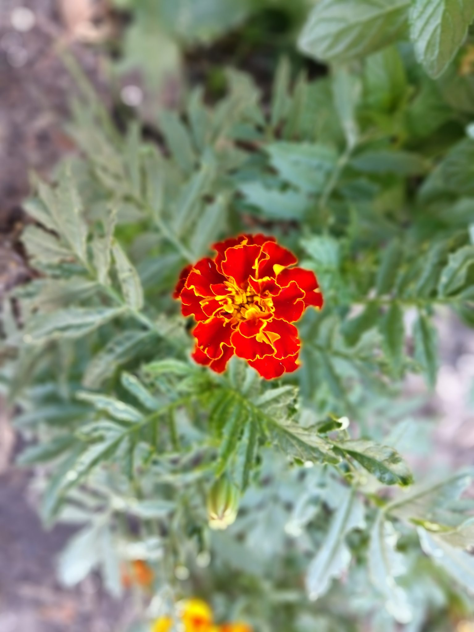 companion planting tips and why your should plant marigolds