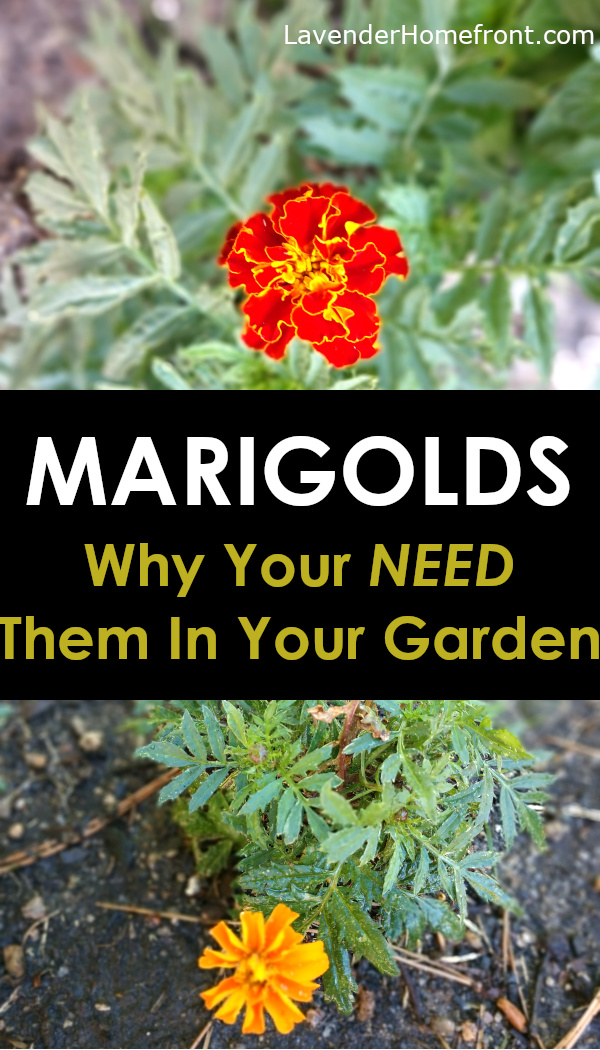 marigolds as companion plants in the vegetable garden