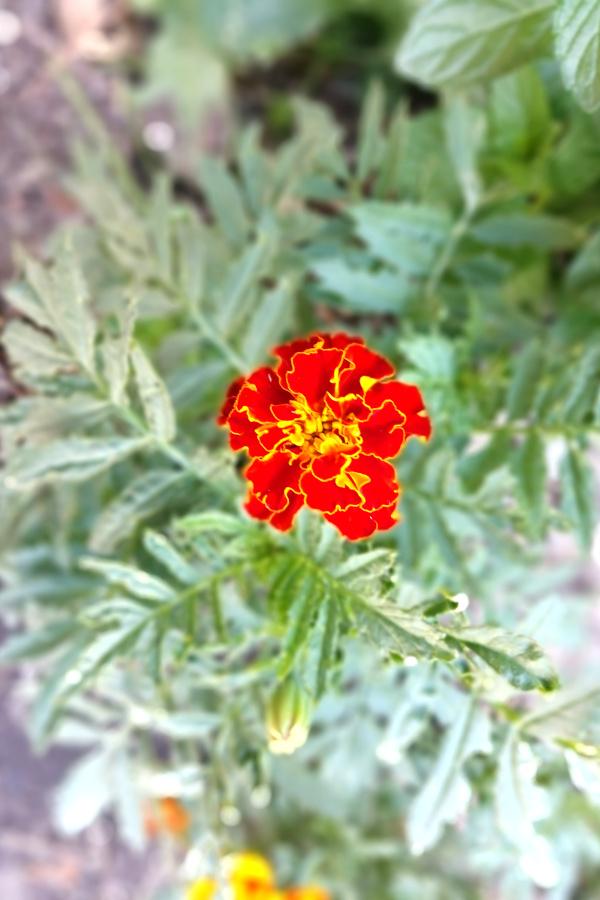 marigold blooming in the vegetable garden