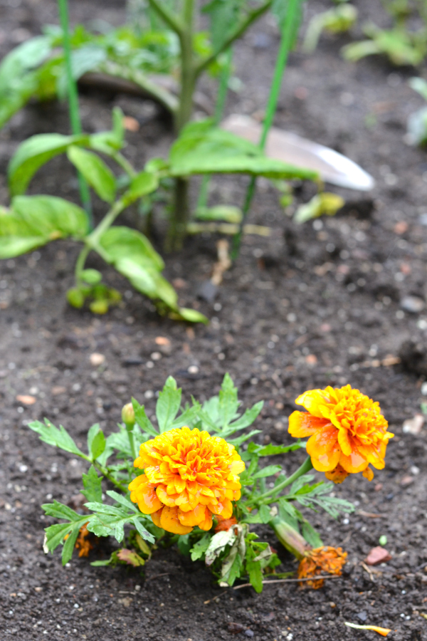 marigolds being planted in the vegetable garden