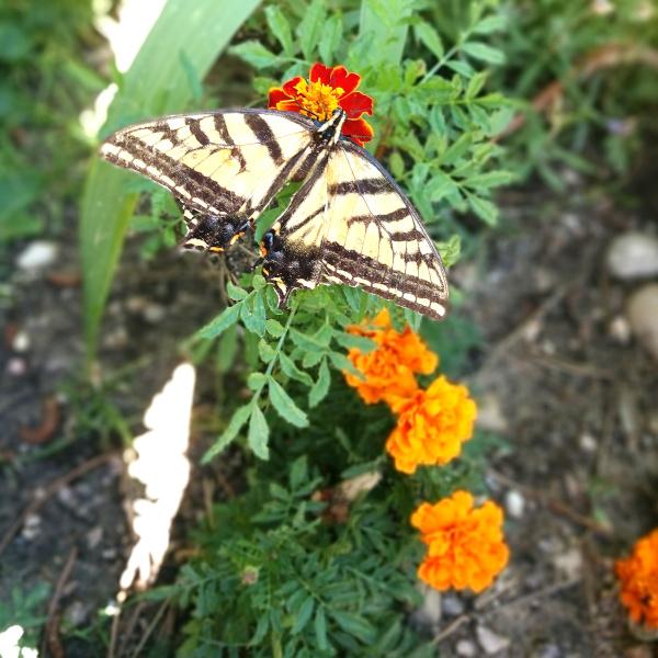 pollinators in the garden on a marigold flower