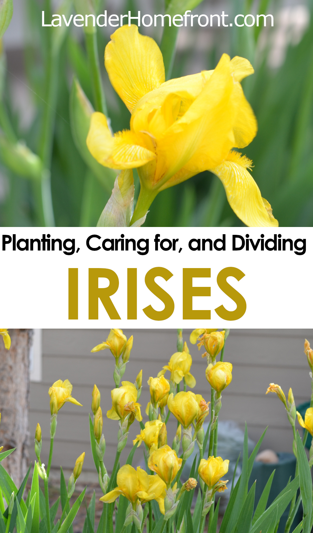 how to plant, care for and divide irises pinnable image with text overlay.