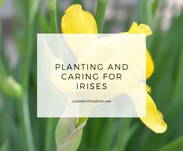 How to plant and grow irises in your garden main image.