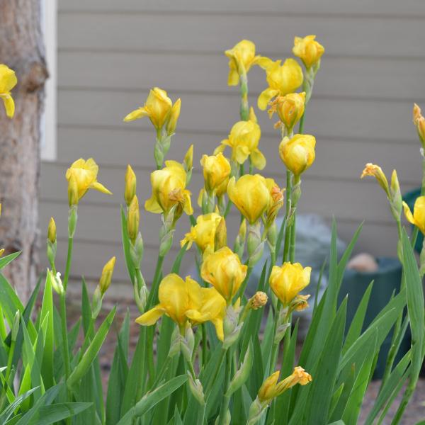 group of yellow irises blooming.