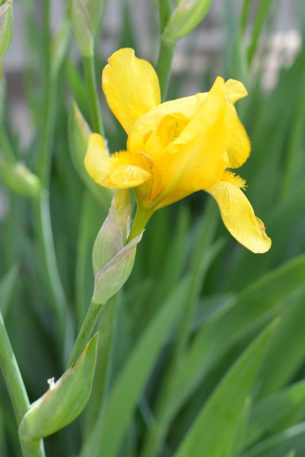 yellow iris flower blooming in a garden bed.