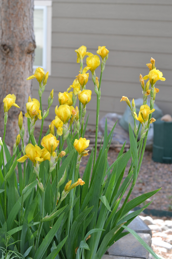 a group of iris plants blooming in the sun.