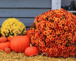 Mums are great flowers to decorate your home for autumn