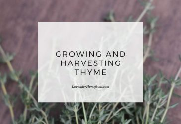 growing and harvesting thyme main image with text overlay