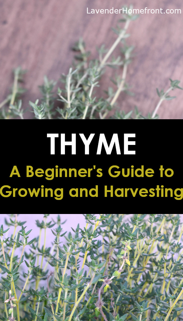 ultimate guide to growing and harvesting thyme