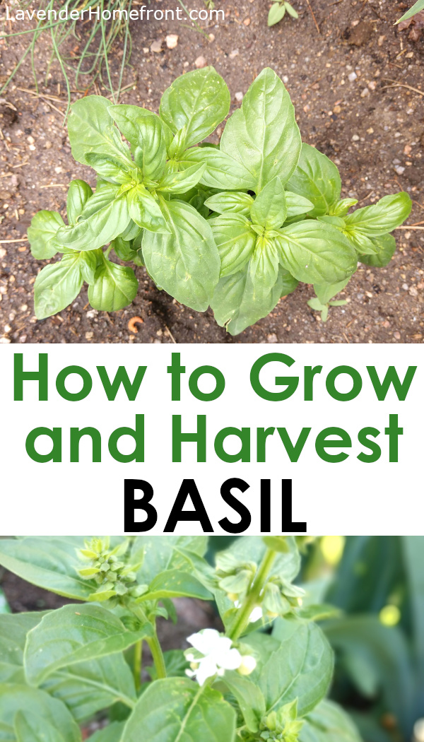 how to grow and harvest basil for beginners pinnable image
