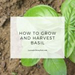 how to grow and harvest basil main image with text overlay