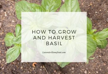 Growing and harvesting basil main image