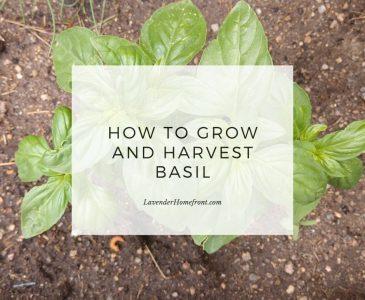 Growing and harvesting basil main image