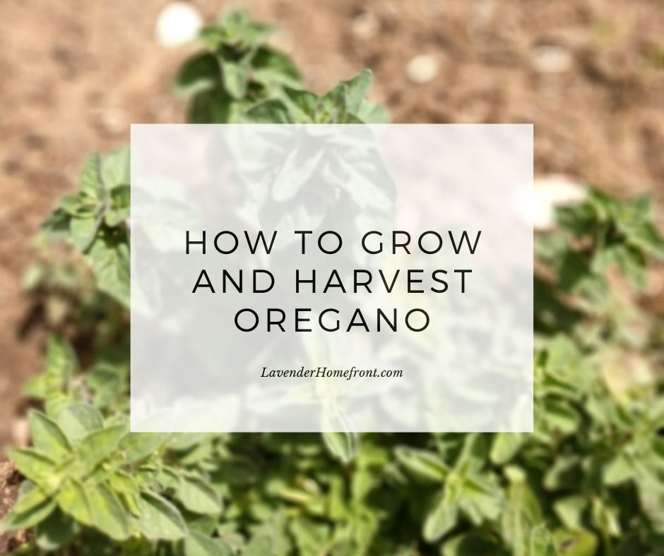 beginner gardening tips on how to grow and harvest oregano