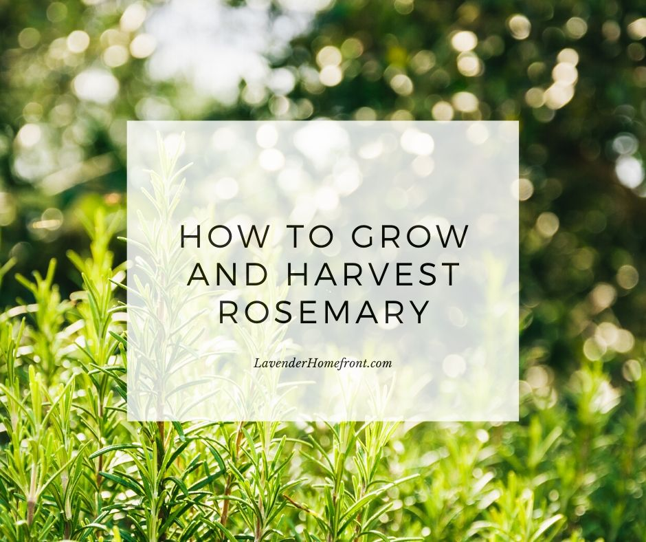 beginner gardening tips and tricks to grow and harvest rosemary