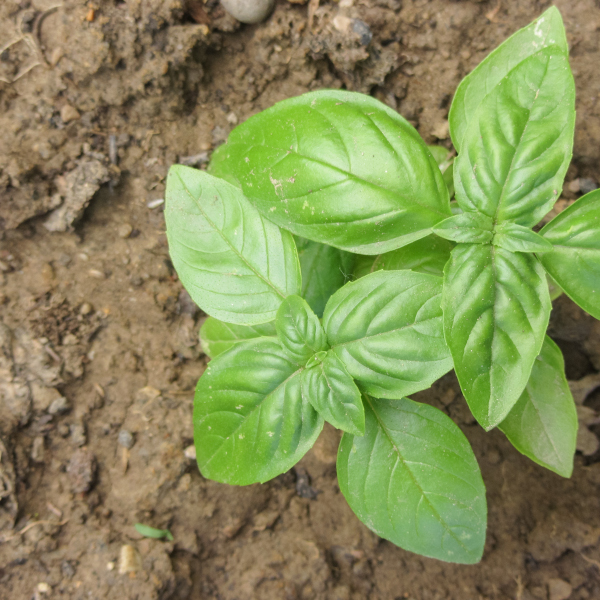 a large basil bush growing well in a garden bed.