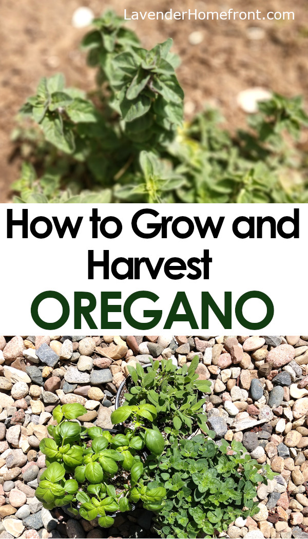 growing and harvesting oregano pinnable image with text overlay