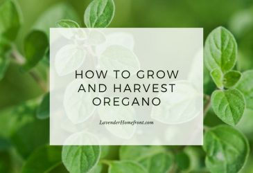 how to grow and harvest oregano main image with text overlay