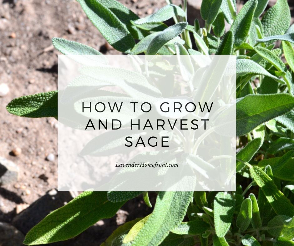 growing planting and harvesting sage main photo