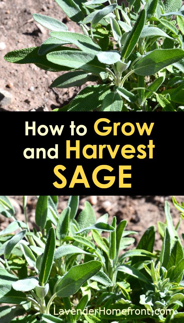 planted sage pinnable image