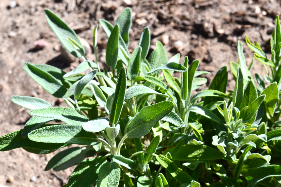 sage bush growing in a garden with dry soil
