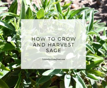 Sage growing in a garden with text overlay main image