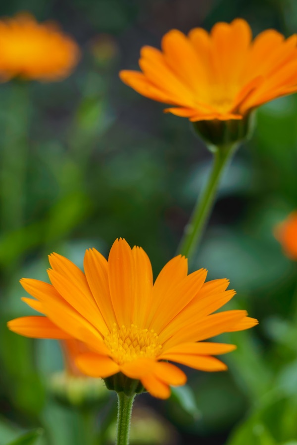 Companion planting in the garden with calendula.