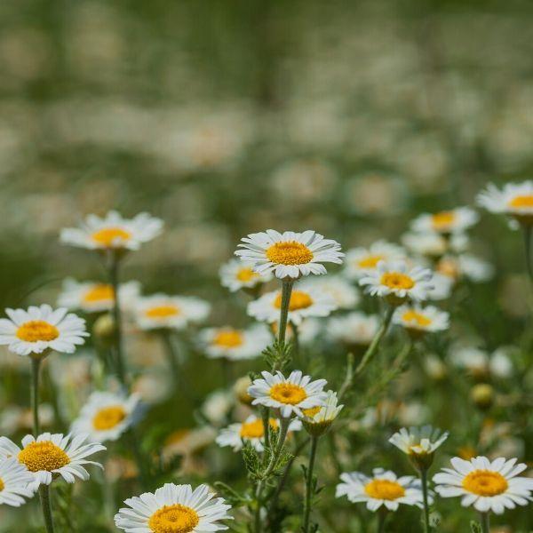 chamomile flower in the vegetable garden