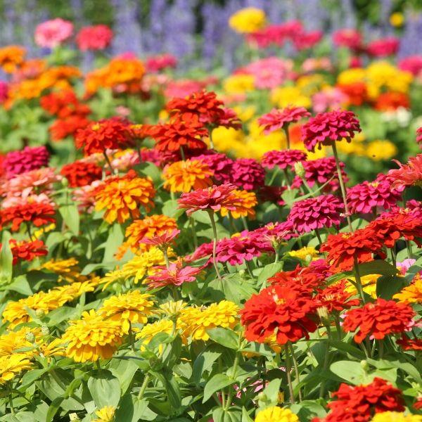 zinnia flowers in the vegetable garden