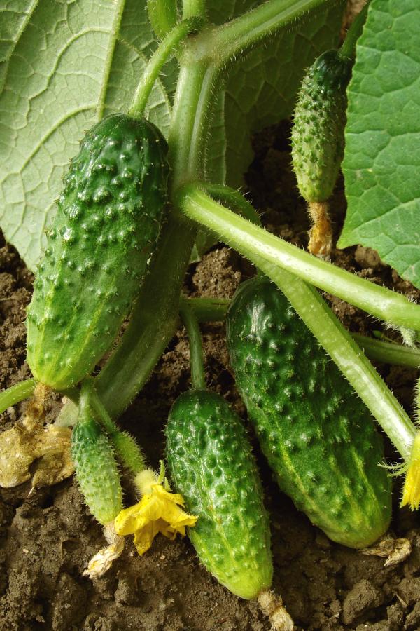 cucumbers ripe on the vine