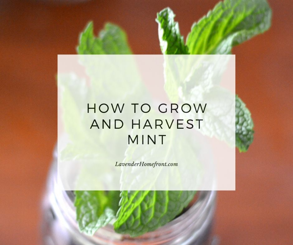 growing and harvesting mint main photo