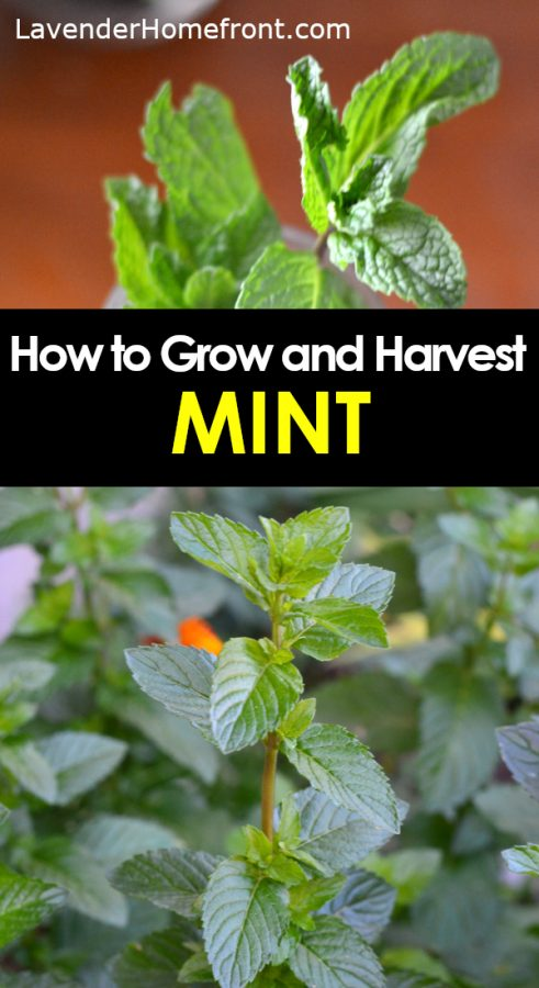 how to grow and harvest mint pinnable image