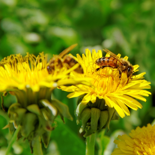 bees attracted to dandelions