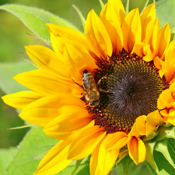bees attracted to a sunflower