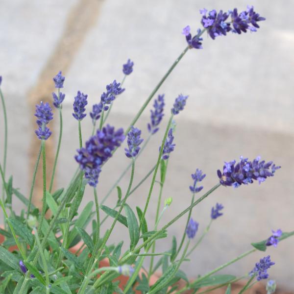lavender buds blooming