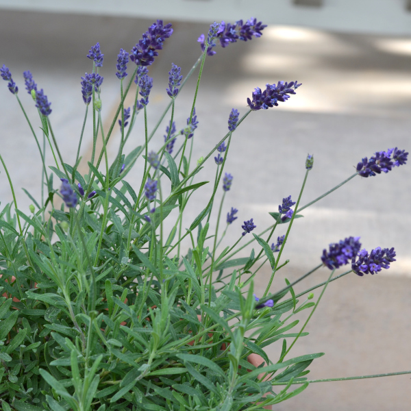 bunches of lavender growing