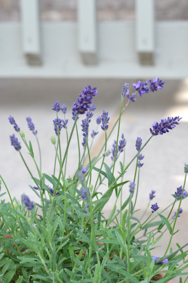 lavender growing and blooming in a container
