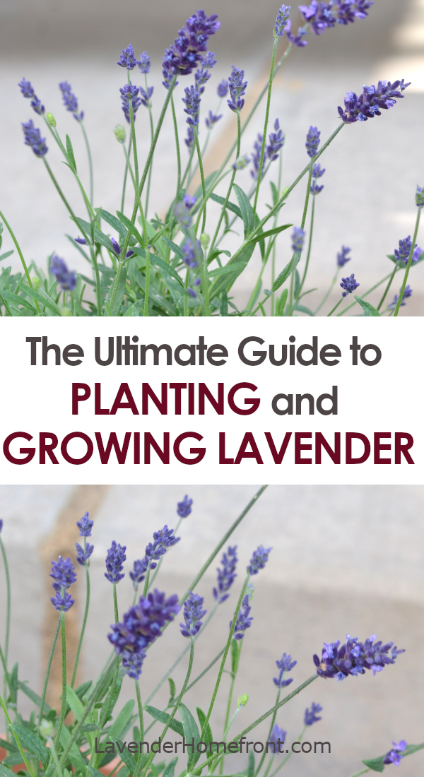 lavender growing guide pinnable image