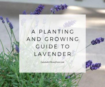growing lavender main photo