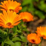 calendula flowering in a garden
