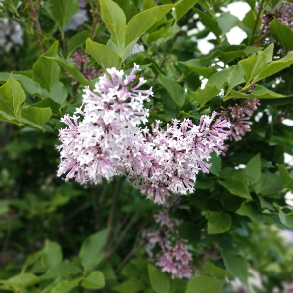 a lilac flower blooming